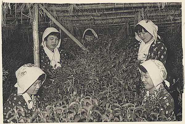 昔の茶摘みの風景