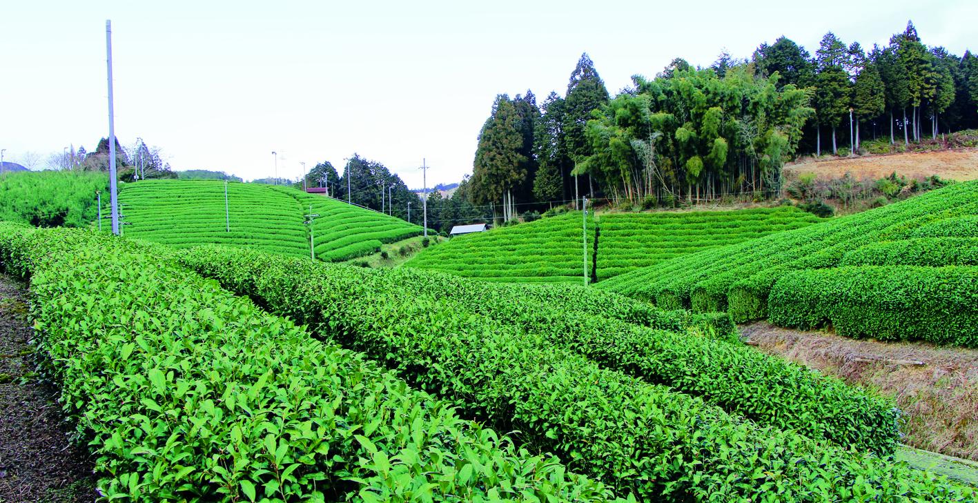 宇治田原町の茶畑の美しさは、1世紀経っても変わらない風景です。