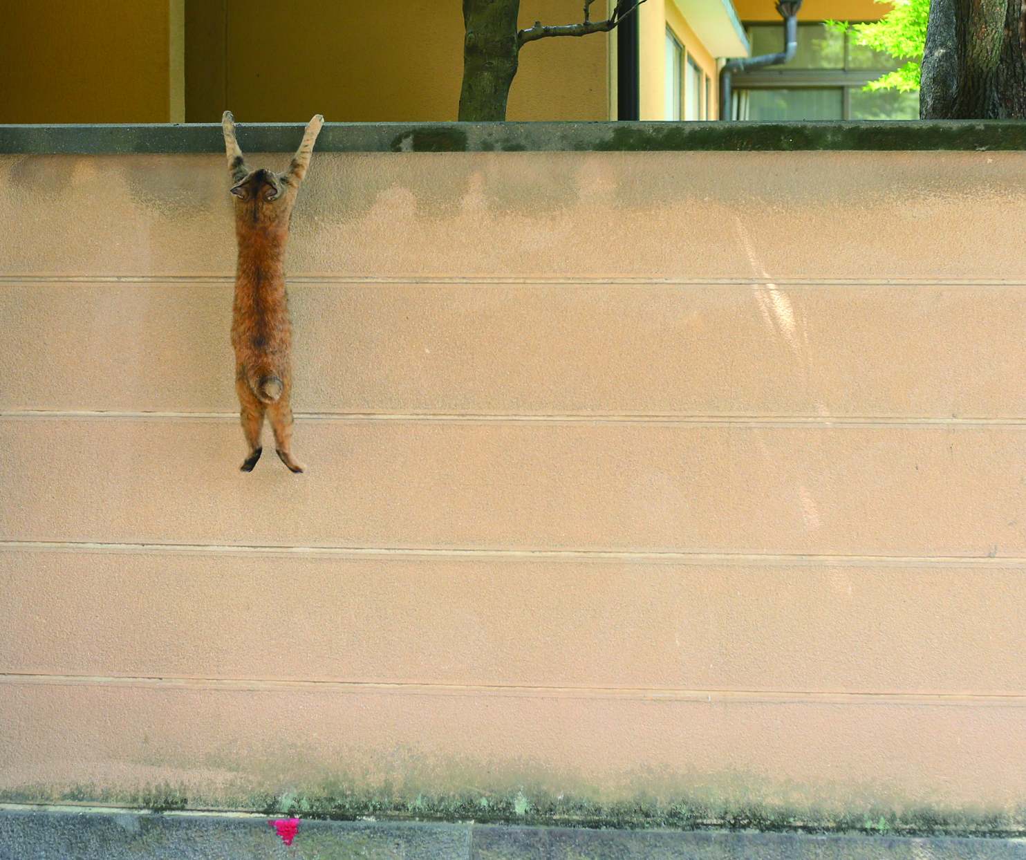 落ちるニャ〜! ……ではなく、実は2m近くの高さの塀に登る瞬間を捉えた 1枚だそう。