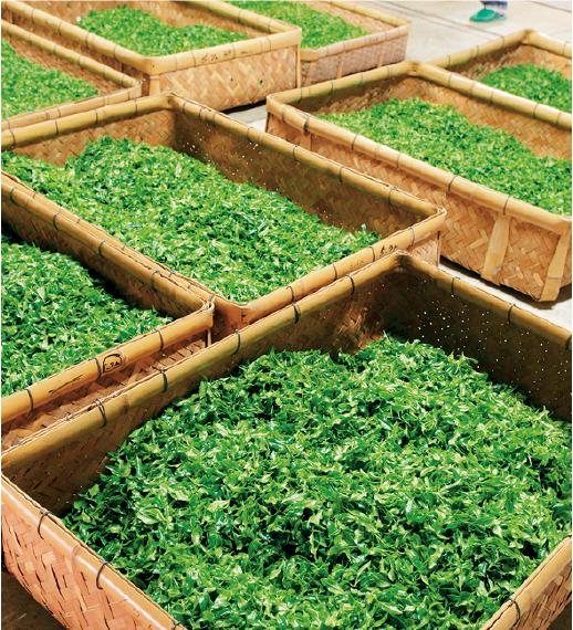 摘み取った大量の生葉を一時的に入れておく茶舟(ちゃぶね)と 呼ばれる通気性のある竹製の籠に入れる。