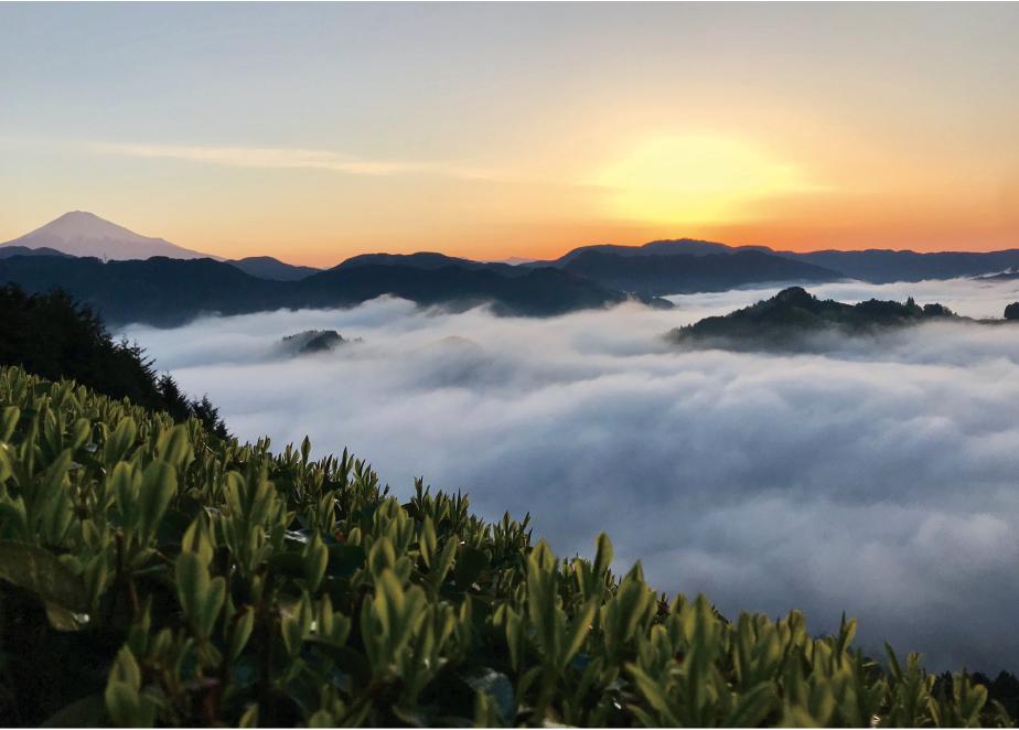 新芽に朝日が当たる、幻想的な茶畑。川が近く霧深い山間部でおいしいお茶は育まれる。 撮影したプロデューサー・たかつまことさんは「この風景はお茶の神様からのプレゼント」と言う。